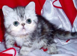 pictures_of_kittens_cats-persian_exotic.jpg
